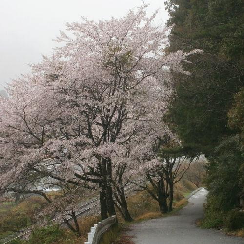 cherry2015_2.jpg